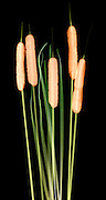A false color x-ray of teh cattail plant ((Typha latifolia).