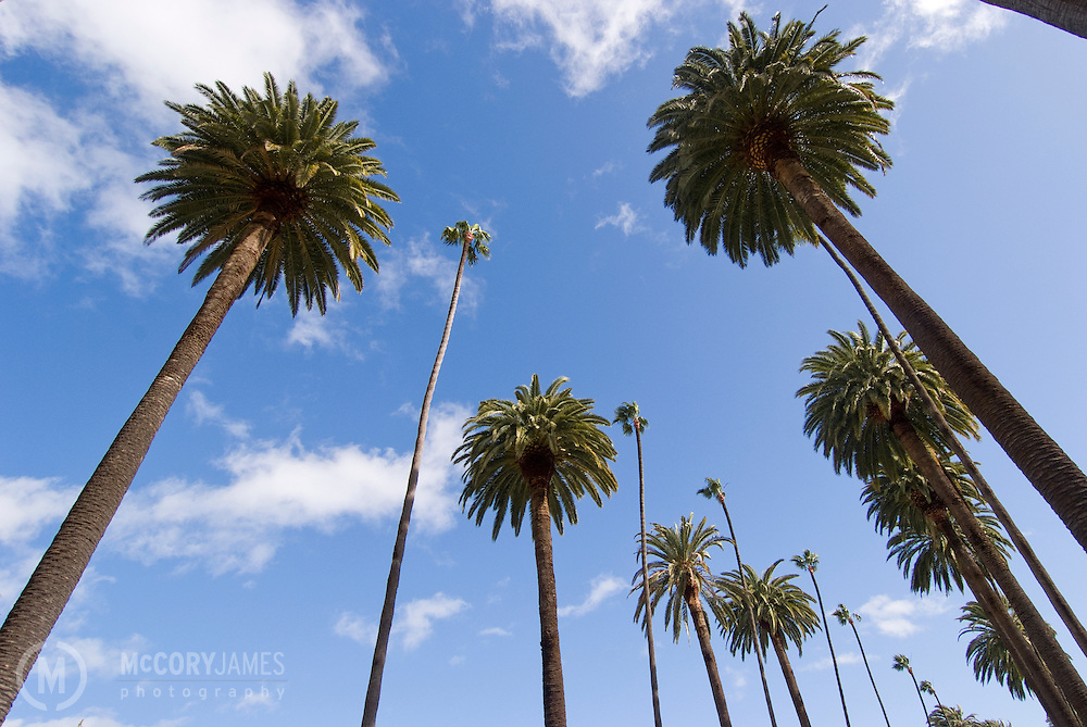 Palm trees on N Bedford Drive in Beverly Hills, California