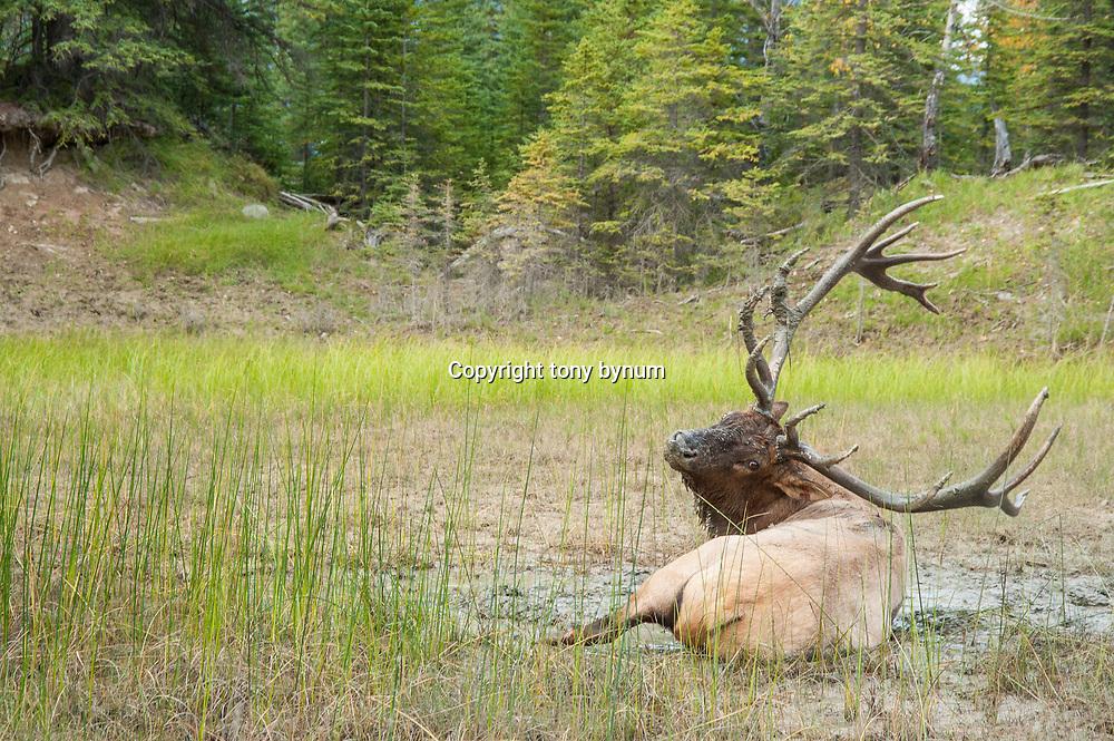 wallowing bull elk