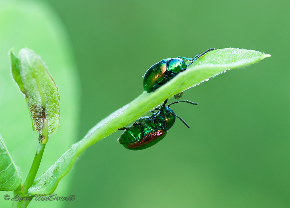 The morning found these Dogbane beetles sharing the same nighttime leaf but opposite sides.  The composition, color and morning dew caught my attention. The image was created by using the stacking technique.