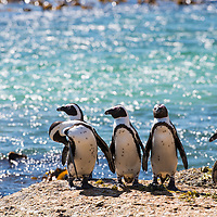 Penguins at the Boulders near Cape Town, South Africa.