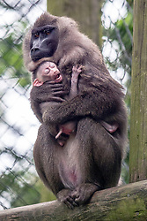 @Licensed to London News Pictures 30/05/2014. Female drill, Yola from Port Lympne Wild Animal Park in Kent, hangs onto her first 6 day old baby who is yet to be sexed or named. Due to a shrinking environment through deforestation and hunting there are only 3,000 drills left with less than 50 in captivity outside Africa. Photo credit: Manu Palomeque/LNP