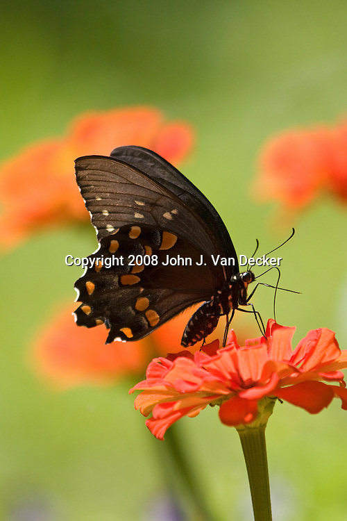 Black Swallowtail Butterfly, Papilio polyxenes, on red orange zenia flower