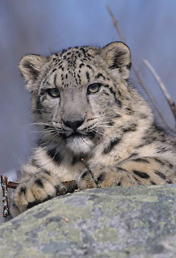 Snow Leopard (Panthera uncia).  Snow leopards inhabit the high mountains in central Asia.  Captive Animal.