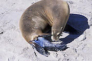 California Sea Lion <br /> Zalophus californianus<br /> Birth <br /> San Miguel Island, Channel Islands NP, California