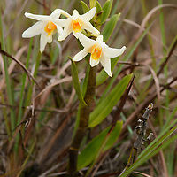 Dendrobium vogelsangii. Endemic to Sulawesi, this beautiful orchid grows both epiphytically and on open grassy ridges in the mountains of the central part of the island. It was described in 2000.