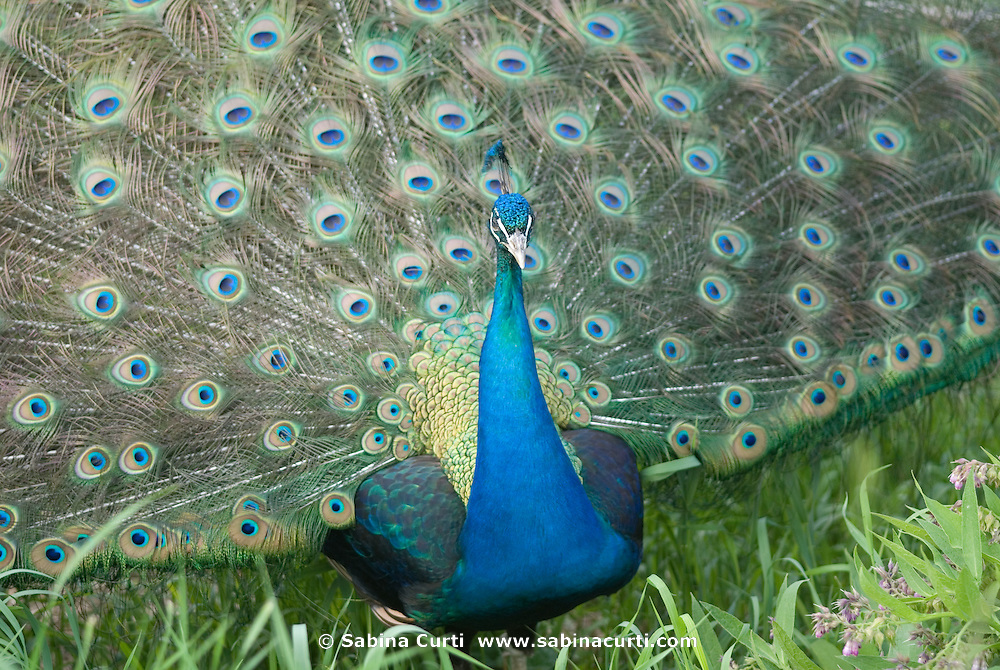 Family farm, male peacock on small sustainable family farm in Hillsdale, Columbia County, NY, New York