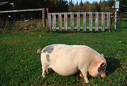 Potbelly pig grazing on green grass