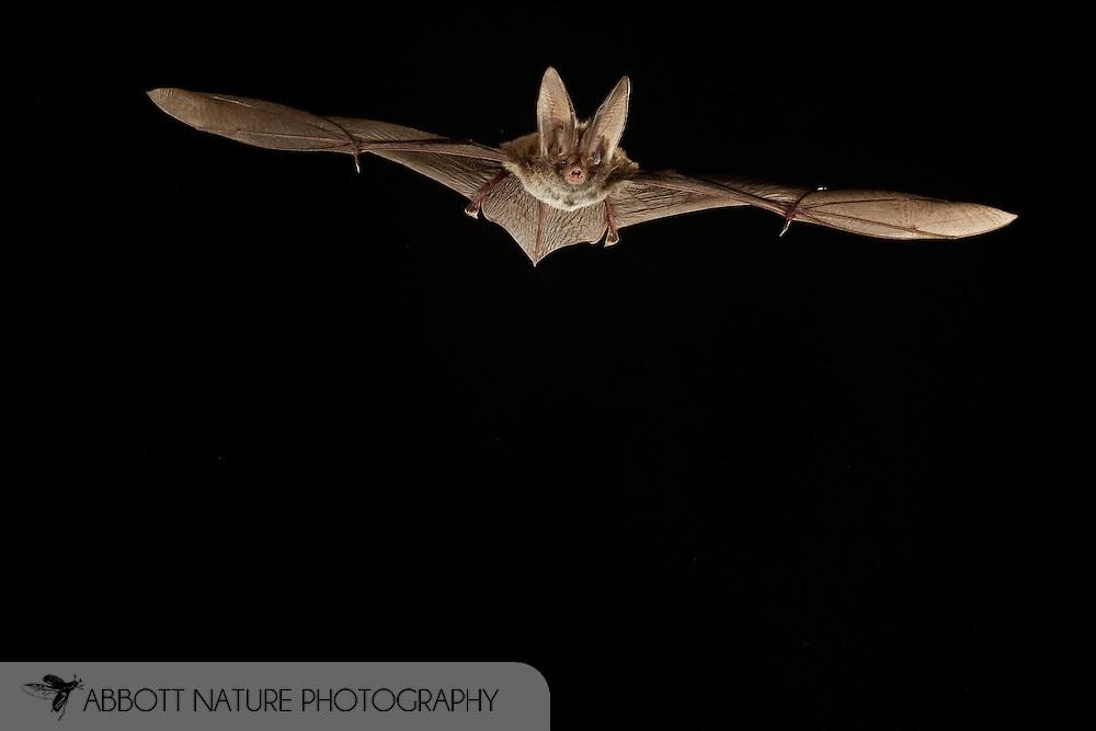 Corynorhinus rafinesquii, Rafinesque's Big-eared Bat: Mammalia, Chiroptera, Vespertilionidae<br /> TEXAS: Polk Co.<br /> Big Sandy Creek Unit of Big Thicket National Preserve<br /> east of Livingston<br /> 30.Mar.2009<br /> J.C. Abbott