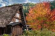 "Gassho-zukuri farmhouse and fall foliage colors. Ogimachi is the largest village and main attraction of the Shirakawa-go region, in Ono District, Gifu Prefecture, Japan. Declared a UNESCO World Heritage Site in 1995, Ogimachi village hosts several dozen well preserved gassho-zukuri farmhouses, some more than 250 years old. Their thick roofs, made without nails, are designed withstand harsh, snowy winters and to protect a large attic space that was formerly used to cultivate silkworms. Many of the farmhouses are now restaurants, museums or minshuku lodging. Some farmhouses from surrounding villages have been relocated to the peaceful Gassho-zukuri Minka-en Outdoor Museum, across the river from the town center. Gassho-zukuri means ""constructed like hands in prayer"", as the farmhouses' steep thatched roofs resemble the hands of Buddhist monks pressed together in prayer."