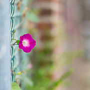 A single flower growing out of a fence in Brooklyn, NY.