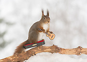 "EXCLUSIVE<br /> Photographer Pictures Squirrels With Tiny Musical Instruments Through Kitchen Window<br /> <br /> Some years ago, squirrels started to come to photographer Geert Weggen's  garden, He decided to build an outside studio from a balcony and started to shoot photos his kitchen window, Some days upto 6 squirrels visit Geert daily.<br /> <br /> This year Geert worked on an idea for a children's book, ""Squirrel Teaching You The Alphabet"", and was confronted with some letters like an object starting with an ""X"". That became a squirrel photo with a xylophone. From there Geert started doing a series of squirrel photos with music instruments. ""It took months to get some music instruments with the right size. I try to bring some magic, wonder and happiness with my work"", these are real photos. Sometimes I take away a wire or some food.<br /> <br /> Photo Shows: FINISHED PLAYING....red squirrel in snow with guitar  <br /> ©Geert Weggen/Exclusivepix Media"