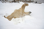 Polar Bear (Ursa maritimus) strectching on sub-arctic Hudson Bay <br />