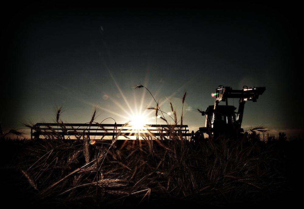 A farmer swaths wheat at sunset, Birch Hills, Saskatchewan, Canada.