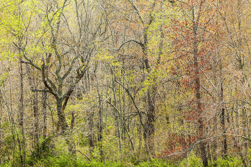 """Ghost"" - Limited Edition Print. 20 prints. Spring Forest in Northern Maryland near Jerusalem Mill Village"