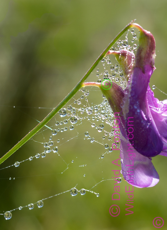 Dew on spiderweb on blossom of wild pea in a mountain meadow in the early morning, © 2007 David A. Ponton
