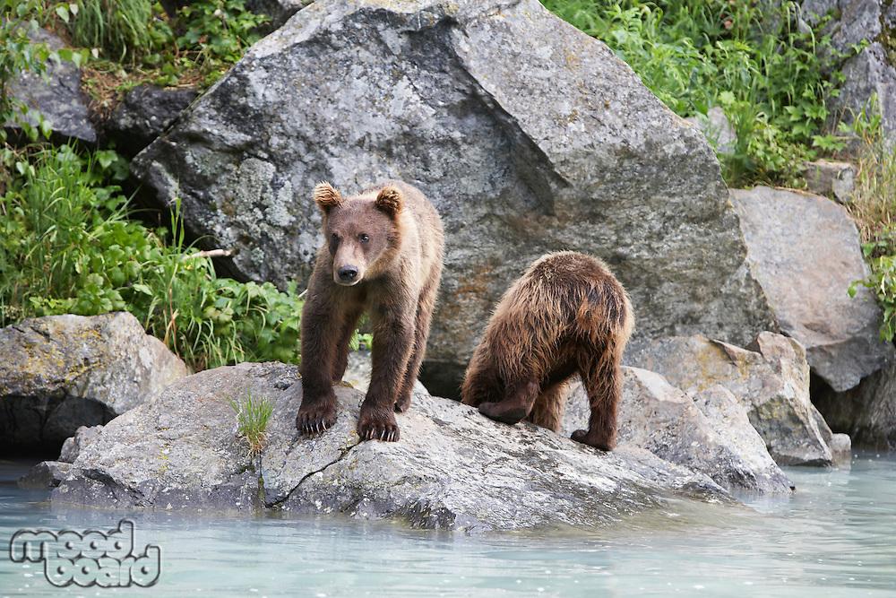 USA, Alaska, two Brown Bears beside river