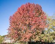 Liquidambar styraciflua, the American sweet gum or red gum, in autumn leaf against blue sky, UK
