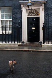 London, February 3rd 2015. Members of the cabinet gather at Downing Street for their weekly meeting. PICTURED: An urban fox wanders along Downing Street.