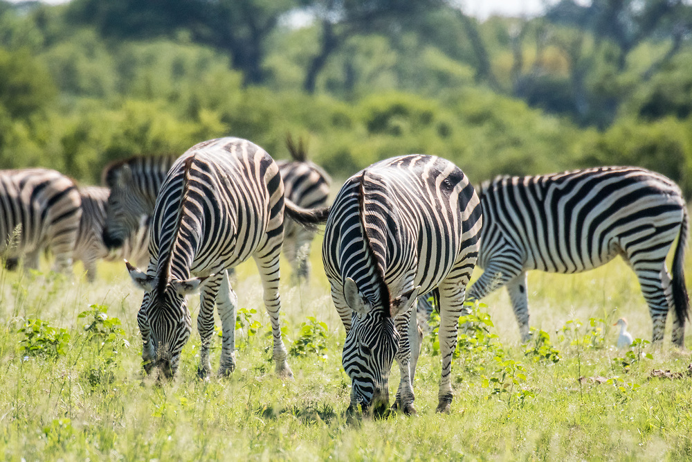 Groups of zebras graze on the grasslands of the savanna in Hwange National Park. Hwange, Zimbabwe.