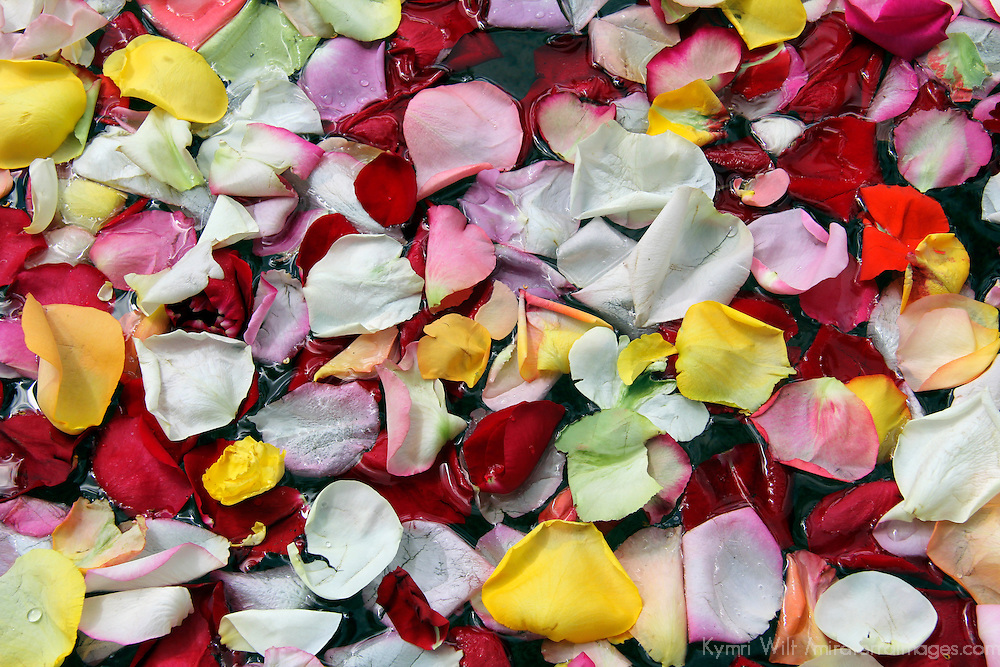 South America, Ecuador, Cayambe. Floating Rose Petals.