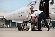 First class Fido: Dogs get their OWN £1,250 seats so they can sit beside their owners on airliners<br /> <br /> The passenger in the seat next to mine yawns contentedly as we taxi along the runway. <br /> He hardly stirs when the engines start to roar and the plane accelerates before lifting into the sky. <br /> By the time our sleek, six-seater jet reaches cruising height his head has dropped and his eyes have closed. <br /> <br /> During the two hour hop to Palma, on the island of Mallorca, where his family has a holiday home, my neighbour eschews his complimentary glass of Moet and Chandon champagne and is tempted neither by the inflight entertainment or the pile of glossy magazines.<br /> He looks every inch the high flyer – prosperous, self-assured, and remarkably well-groomed. My fellow passenger, Dylan, is a dog.<br /> <br /> He belongs to a new breed of pampered mutts who, rather than being confined to cages in the hold along with the cargo, sit in their own leather-upholstered seats in the cabin next to their owners.<br /> The service is being offered by Victor - a private jet charter company. It isn't a cheap option. <br /> Dylan, an eight-year-old miniature Schnauzer, is being charged £1,250 for a seat on a Victor flight to Palma, exactly the same as it costs humans using the service.<br /> And a seat is what he gets, not a space on the floor at the back of the plane near the lavatories, not a dedicated mat next to the exit. <br /> At one point, Dylan stares out of the window of the Lear40 jet and seems genuinely enthralled by the wispy cloud formation gathering a few hundred feet below. <br /> He enjoys the landing, too, as we soar over the Mediterranean and as buildings come into focus as the pilot makes his descent.<br /> 'How can you have a proper family holiday if you don't take the family dog with you?' asks Dylan's owner, Isabelle Frank, who live in Putney, south-west London. <br /> 'In the past we have put him in the hold but the trauma was terrible for both of us. It used to break my heart seeing him in a crate on the runway waiti
