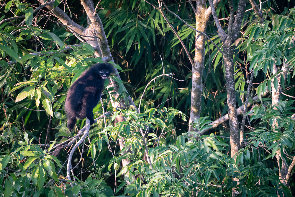 Robinson's Banded Surili, Presbytis femoralis robinsoni. The banded surili (Presbytis femoralis), also known as the banded leaf monkey or banded langur, is a species of primate in the family Cercopithecidae. Here photographed in Kaeng Krachan National Park, Thailand.