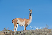 Guanaco in Torres del Paine National Park, Chile.