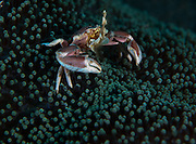 A crab sits on a anemone. In the Philippines, muck divers head straight to Dauin to begin the hunt. It is considered one of the premier muck diving locations on the planet. On a bad day at Dauin, you can spot more rare animals than a decade out on the reef...