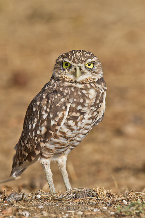 The  Burrowing Owls nests in burrows, usually excavated by prairie dogs and squirrels.  These wild burrowing owls were found in Northern California.