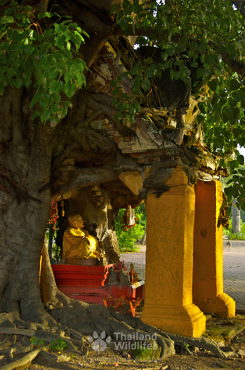 A buddhist shrine at Wat Muang in Ratchaburi, Thailand. The shrine has been grown into by a local fig tree that is slowlt taking over the structure of the shrine