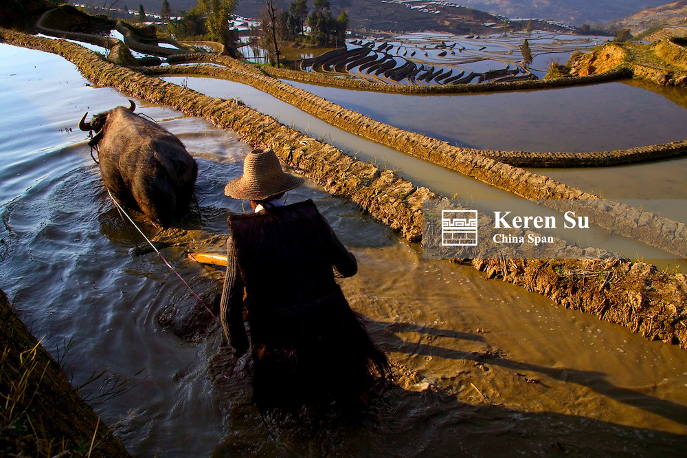 Farmer with water buffalo plowing in water filled rice terraces in the mountain, Yuanyang, Yunnan Province, China