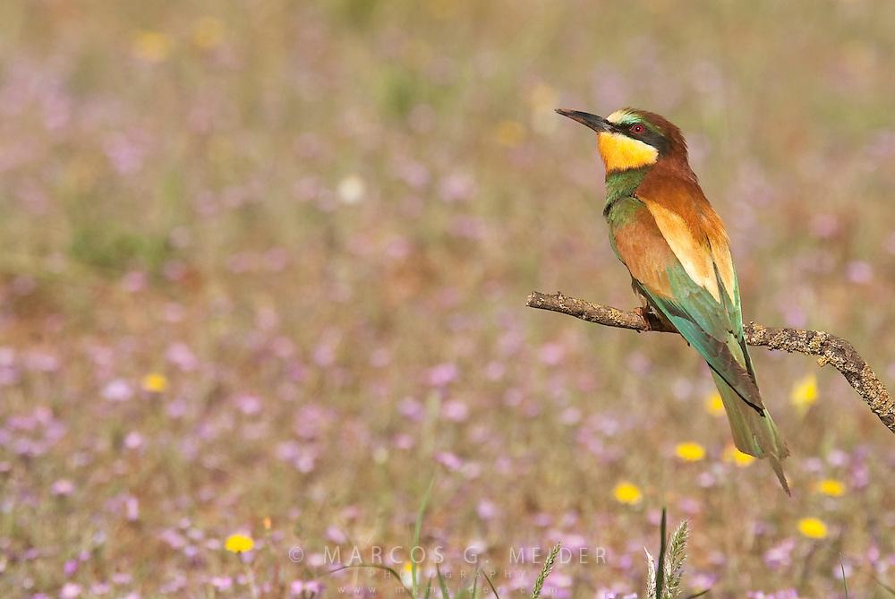 EN. European Bee-eater (Merops apiaster) perched on branch in open field with flowers. Andalucia, Spain.<br /> ES. Abejaruco com&uacute;n (Merops apiaster) posado sobre rama en un campo florido. Andaluc&iacute;a, Espa&ntilde;a.