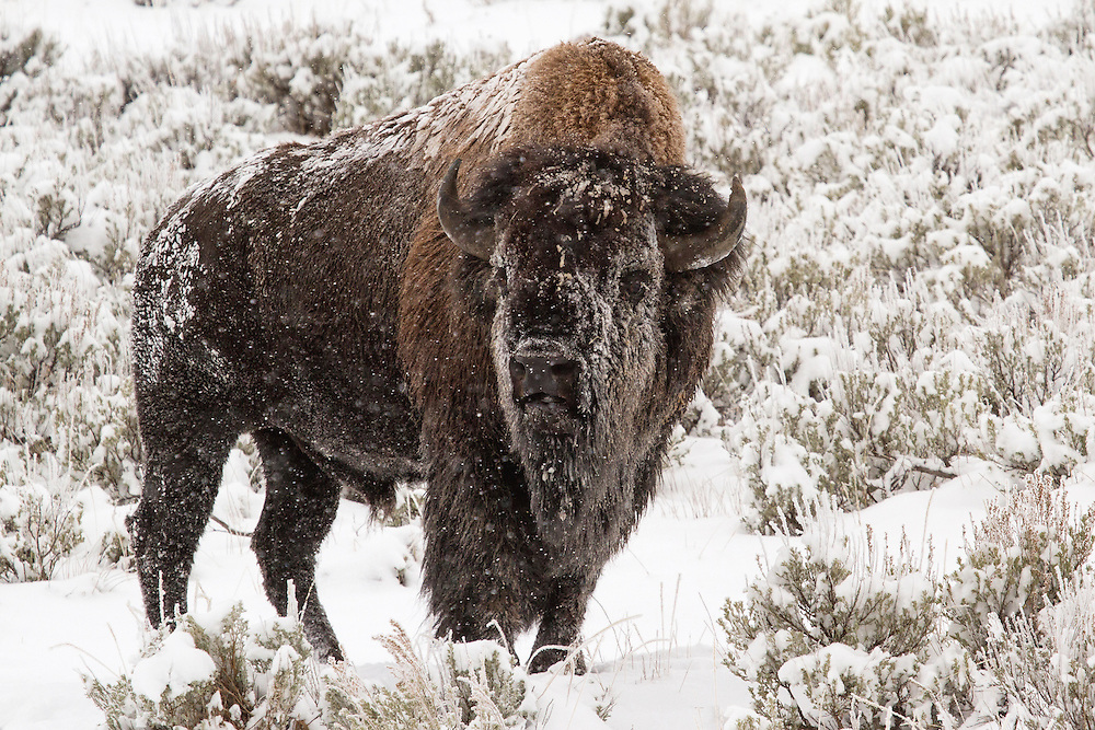 Winter is an unforgiving season in Yellowstone, but no animal is better equipped to survive the cold and snow than the mighty bison. Bison rely on their thick coats to insulate them against the frigid temperatures and howling winds that last from October through May in the high country of Yellowstone.