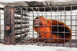 An anxious endangered golden lion tamarin (Leontopithecus rosalia) caught in a trap set by the research scientists , Brasil, South America