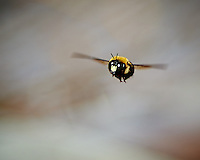 Carpenter Bee in Flight. Backyard Spring Nature in New Jersey. Image taken with a Nikon D4 camera and 300 mm f/2.8 VR lens (ISO 100, 300 mm, f/2.8, 1/2000 sec). This is a crop from the full image. I did this hand-held, and had to manually focus. So lots of out of focus images.