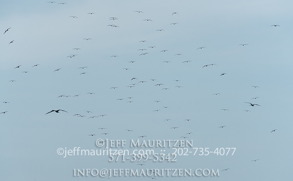 A large fleet of magnificent frigatebirds in flight against a blue sky.
