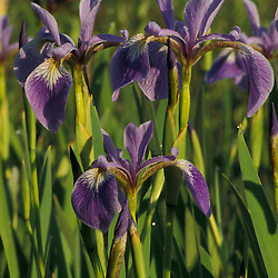 Portsmouth, NH.A cluster of Large Blue Flags, Iris versicolor, in a New Hampshire wetland. Wildflowers..
