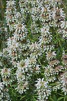 Plains Horsemint, (Monarda citriodora)  Mason  County, Texas