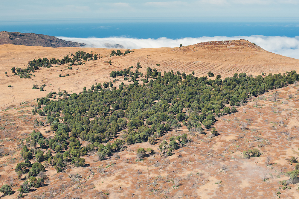Aerial view of the Guadalupe Cypress (Cupresus guadalupensis) colony on top of the island.<br /> <br /> Endangered and endemic to Guadalupe Island, Mexico