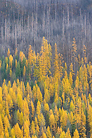 Western Larch (Larix occidentalis) displaying their golden needles in autumn among a partially burned forest, Flathead National Forest Montana USA