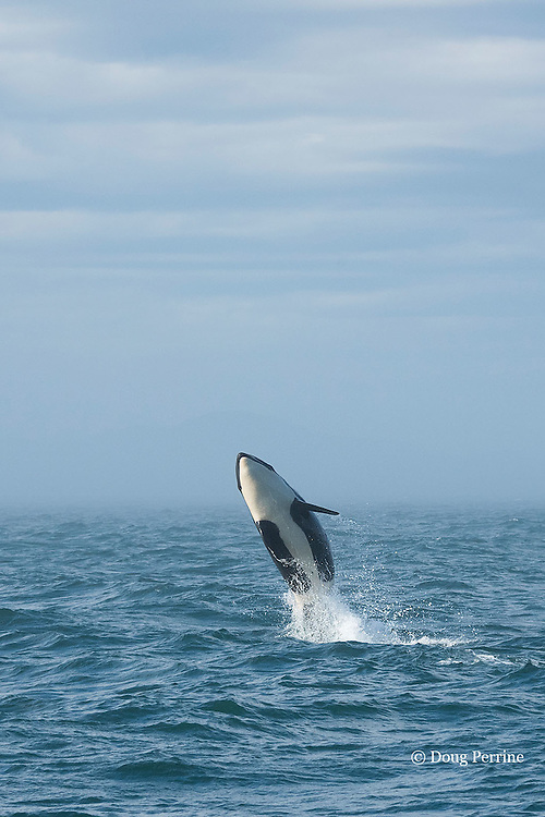 southern resident orca, or killer whale, Orcinus orca, juvenile breaching, with fog bank in background, off southern Vancouver Island, Strait of Juan de Fuca, British Columbia, Canada ( Eastern North Pacific Ocean ); #2 in sequence of 6