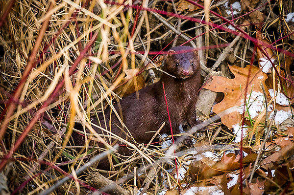 American Mink in New Hampshire.  All Content is Copyright of Kathie Fife Photography. Downloading, copying and using images without permission is a violation of Copyright.