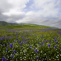 The Tehachapi wildflowers that morning were incredible.  We went out to see the Tehachapi wildflowers and boy we were surprised. With only the half the amount of precipitation we normally get I didn't think we'd get any wildflowers compared to last year.