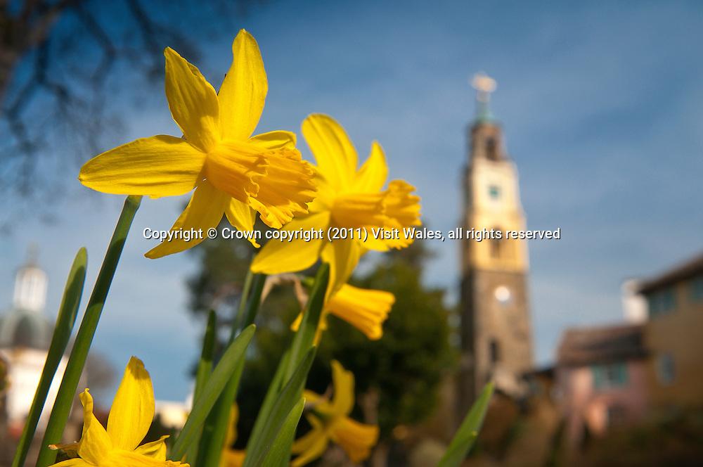 Daffodils and Campanile in spring<br /> Portmeirion<br /> Llyn Peninsula<br /> Gwynedd<br /> North<br /> Towns and Villages