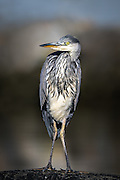 Posing Grey Heron   Poserende Gråhegre