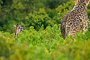 Young masai giraffe walking behind its mother.