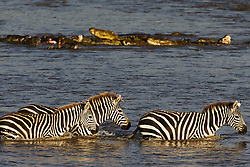 A herd of zebras (Equus quagga) pass a float of crocodiles on a zebra kill while crossing a river during Kenya's great migration, Masai Mara, Kenya