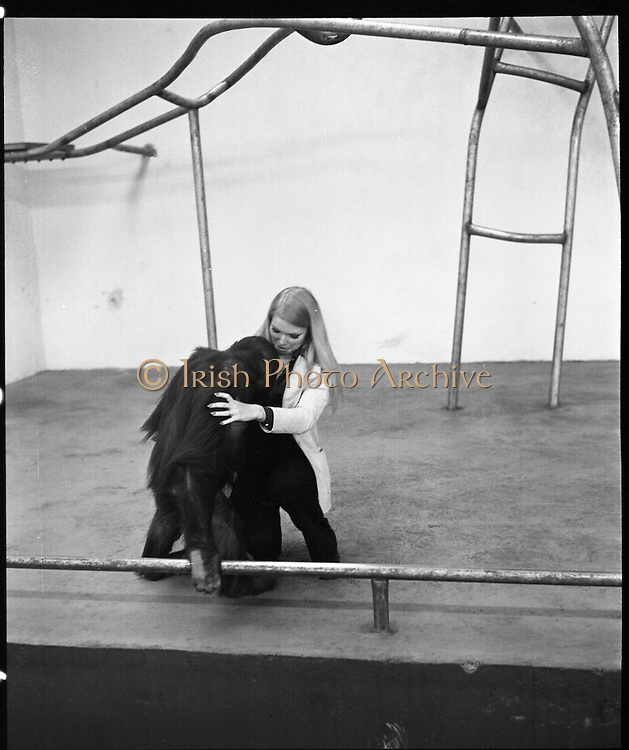 "Former Miss World Visits Dublin Zoo.<br /> 1973.<br /> 14.01.1973.<br /> 01.14.1973.<br /> 14th January 1973.<br /> Miss Eva Rueber-Staier, former Miss World from Austria and the ""World Wildlife Fund's Anniversary Girl"", paid her first visit to Ireland to open the Shell/BP Irish Wildlife Promotion. As part of the promotion Eva paid a visit to Dublin Zoo in the Phoenix Park, Dublin.<br /> <br /> Image shows Miss Rueber-Staier meeting Tommy a seven year old Orang Utan from Borneo during her visit to the Zoo."