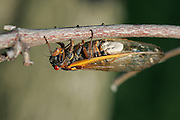 Periodical Cicada; Magicicada septendecim; fungus on abdomen; <br /> Massospora cidadina;  - only parasite exclusive to periodical cicadas; <br /> USA, PA,  Bryn Mawr; June 1